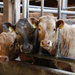 calf, beef, cow