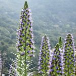 bugloss, echium webbii, montaña de la breña